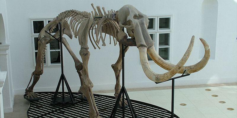 A mamut a Mátra Múzeumban.